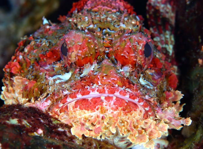 Scorpion fish (Galapagos). Shot on Canon 100mm - Canon 5D Mark III f/18 1/80 ISO 100. Photo by Marie Davis.