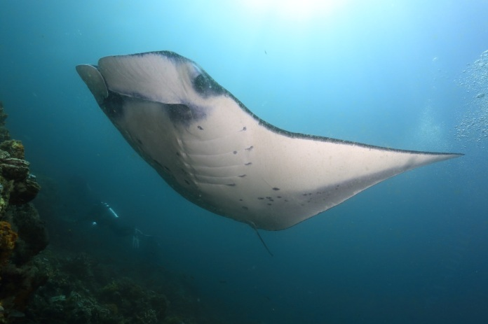 Manta Ray is a difficult type